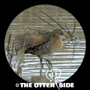 Clapper Rail - Gulf Coast
