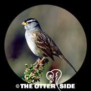 White-crowned Sparrow - Pacific