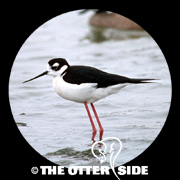 Black-necked Stilt - North American
